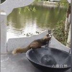 云南拍摄到一只口渴的松鼠,懂得用爪子操作感应水龙头,喝够才离开